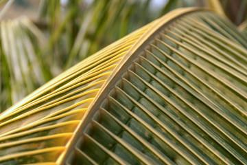 Yellow coconut leaf closeup