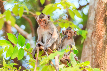 Monkey family (Crab-eating macaque) on tree in Thailand