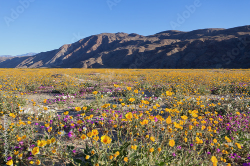 Foto op Canvas Zonnebloem Wildflowers in Anza Borrego