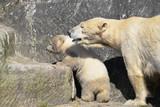 Eisbär Jungtier
