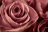 Fototapety Rose flowers close-up