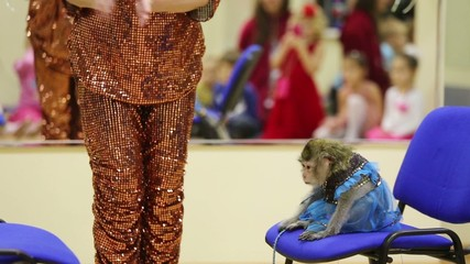 Trained monkey in costume jumps from one chair to other chair