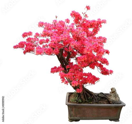 Plexiglas Bonsai Red azalea bonsai isolated on white background