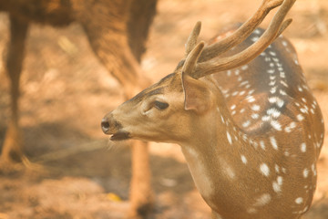 Chital deer with his beautiful male