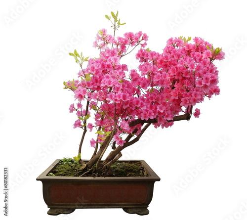 Canvas Bonsai Red azalea bonsai isolated on white background
