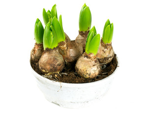 hyacinth bulbs in plastic pot isolated on white