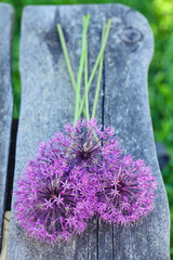 alium flowers on wooden garden table