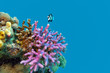 coral reef with violet hood coral in tropical,underwater