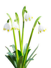 Isolated Leucojum snowdrops first white spring flowers