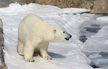 Roaming Polar Bear (Ursus maritimus)