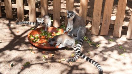 lunch lemurs