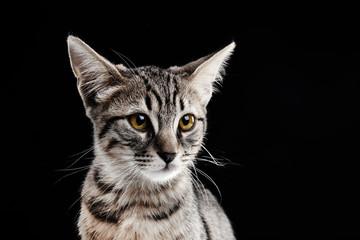 Portrait of stripped kitten on black background