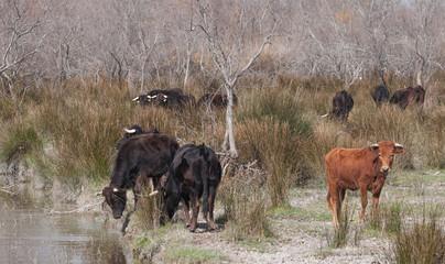 taureaux en camargue