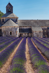 Blooming field of Lavender in front of Senanque, France