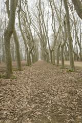 Platanus forest on a winter landscape