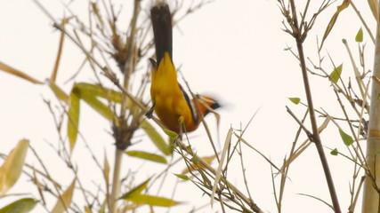 Oriole Male Bird Mating Dance