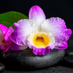 spa still life of purple orchid dendrobium and green leaf Calla