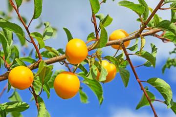 Yellow plum fruits