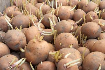 Potatoes tubers before planting
