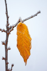 Lonely yellow cherry leaf with rime