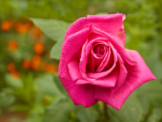 Bright pink rose in flowerbed