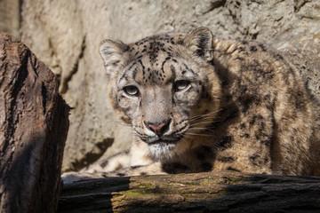 Portrait of a snow leopard Uncia uncia