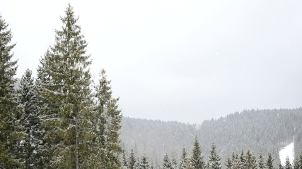 Snow falling on backdrop of evergreen fir trees in mountains