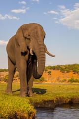 African elephant, Loxodonta africana, the water Chobe, Namibia