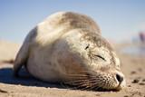 Sleeping Seal