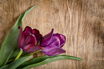 Two fresh tulips from corner is lying on wooden background