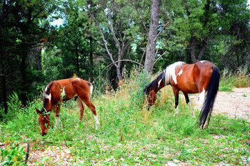 Horses grazing in the forest
