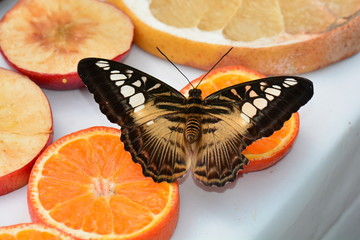 Brown Clipper butterfly at the buffet table