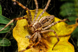 Wolf spider is resting on the net