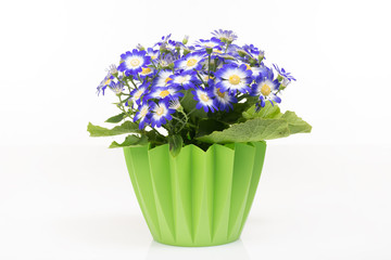 Group of blue cineraria in a green flower pot.