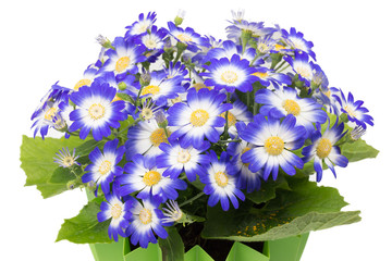 Close up of group cineraria flowers.