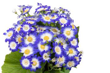 Close up of blue cineraria.