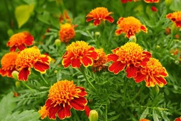 Marigolds in the flowerbed