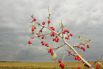 Branch of hawthorn fruit against cloudy sky