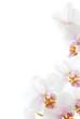 weiße Orchideenblüten isoliert auf dem weißen Hintergrund