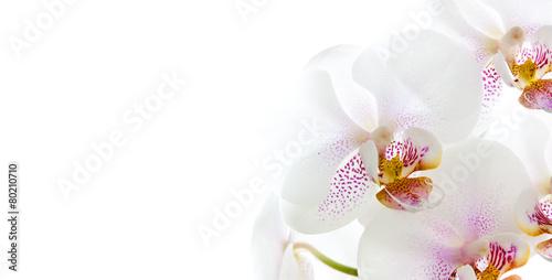 isolierte Orchideenblüten