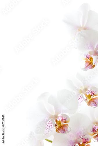 Poster Orchidee weiße Orchideenblüten isoliert auf dem weißen Hintergrund