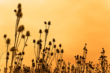 Silhouettes of teasel flowers