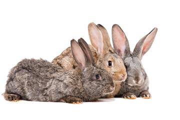 Three rabbit sitting together
