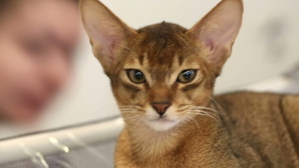 Abyssinian kitten. Close up