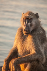 resting Baboon