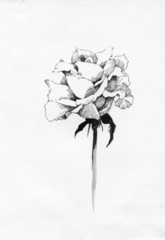 Handdrawn rose in sketch-style, on white background