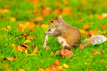 grey squirrel in autumn park