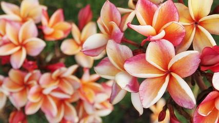 Pink frangapani  flowers