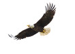 canvas print picture - American Bald Eagle in Flight