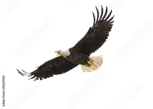 Deurstickers Vogel American Bald Eagle in Flight